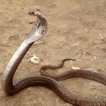 9d0cd-kingcobra