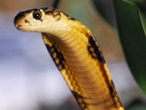 e90cb-king-cobra-snake