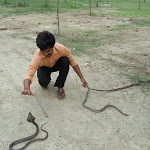 ग्रामीणों होशियार :सापों का सीजन आ धमका है!